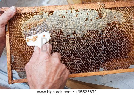 Honeycomb will open unwaxing fork beekeeper uncapped for harvest golden delicious honey. Close up