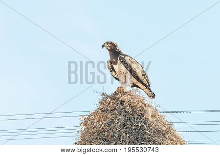 A martial eagle Polemaetus bellicosus with prey on top of a communal bird nest built on top a a telecommunications pole near Groblershoop in the Northern Cape Province
