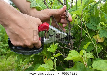 hands of gardener pruning black current with secateurs
