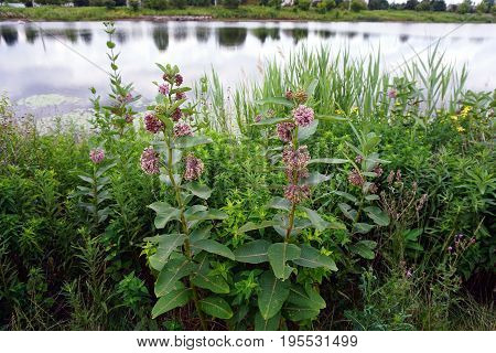 Common milkweed plants (Asclepias syriaca) bloom near a retention pond during June in Plainfield, Illinois.