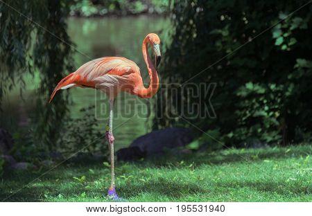 Beautiful Big Flamingo In A Milwaukee Zoo