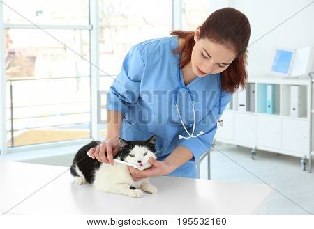 Veterinarian brushing cat's teeth with toothbrush in animal clinic