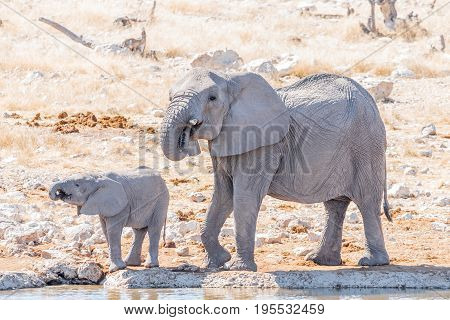 An African elephant cow Loxodonta africana and calf drinking water at a waterhole in Northern Namibia. Both are covered in calcrete mud