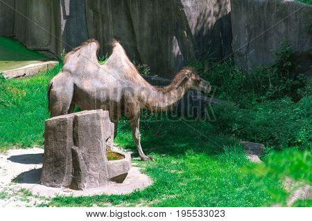 Big Adult Camel In A Milwaukee Zoo