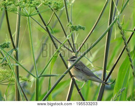The sedge warbler (Acrocephalus schoenobaenus). Beautiful bird in its natural habitat.  The beauty of nature. European animals. Wild animals. Ornithology. poster