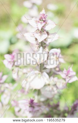 Inflorescence of the clary sage. Medicinal plant