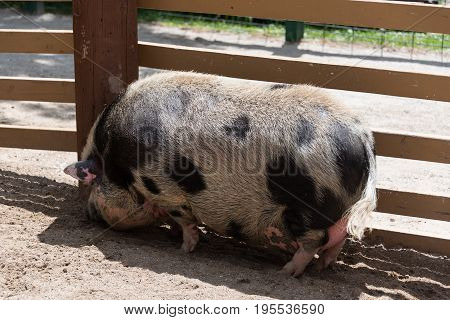 Big Fat Pig On A Country Farm