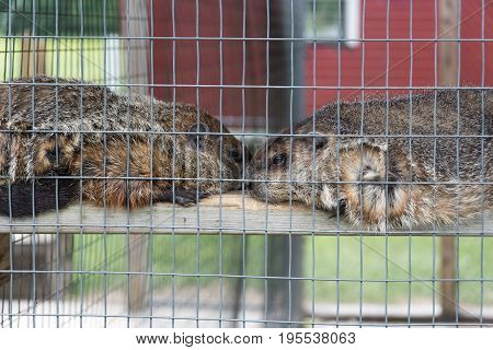 Big Groundhogs In A Zoo Behind A Fence