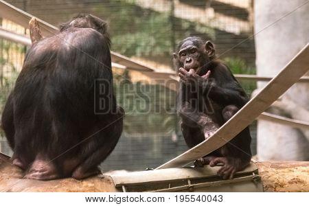 Big Monkey In A Milwaukee County Zoo