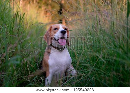 Beagle on a walk in the summer among the tall green grass