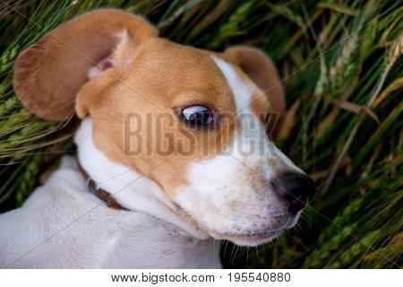 Beagle funny lying on her back on the ears of wheat