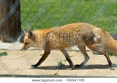 Young Red Fox In A Milwaukee Zoo