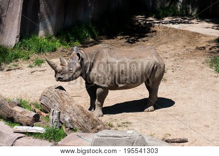Big Rhino In A Milwaukee County Zoo