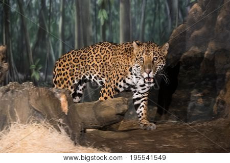 Big Scared Leopard On A Rocks In A Zoo