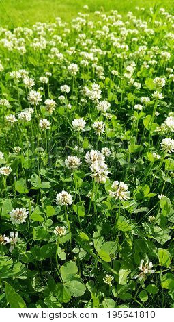 Close up of white clover on a summer meadow
