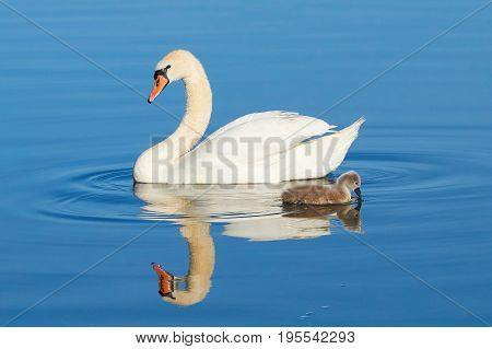 Swans on a lake in Mueritz National Park in summer