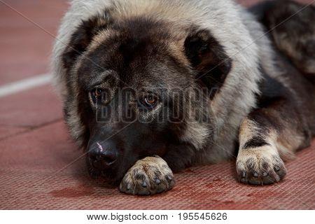 Dog breed Caucasian shepherd lying a sad