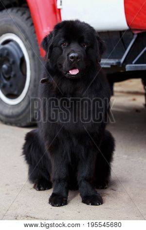 The dog breed Newfoundland sitting on outdoors
