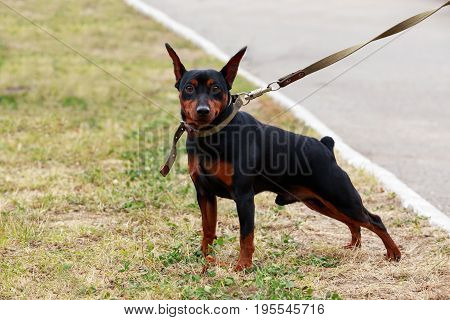 Dog breeds mini pinscher in autumn on green grass