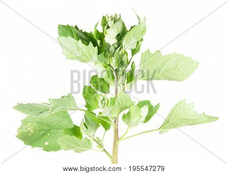 Saltbush or orache isolated on white background. Medicinal plant