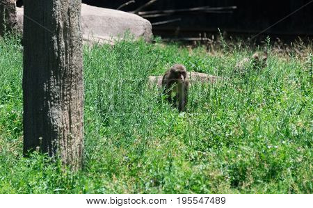 Small monkey walking through the green grass