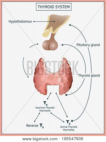 Thyroid system infographics. Detailed vector illustration in light colours isolated on a white background. Structures and functions of endocrine system. Informative medical image.