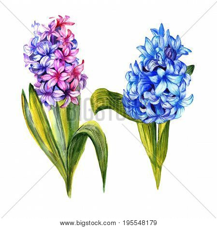 Wildflower hyacinth flower in a watercolor style isolated. Full name of the plant: hyacinth. Aquarelle wild flower for background, texture, wrapper pattern, frame or border.