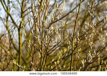 Willow Branches With Buds.