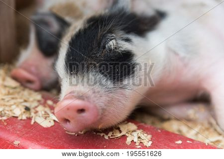 Young Little Baby Pigs On A Farm