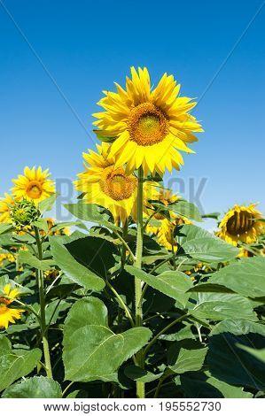 Sunflower in blossom. Sunflower blue sky landscape. Sunflowers close up.