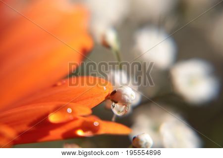 Drops water on the orange petals Gerber flower