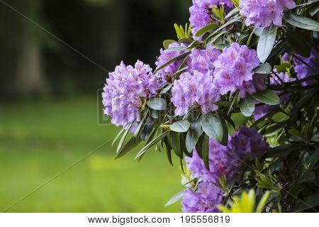 Prunus Blireana flower with green grass  background
