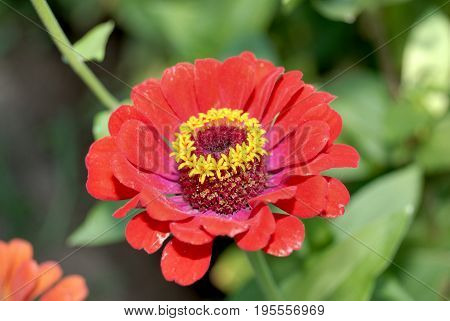 A red the flower with three buds.