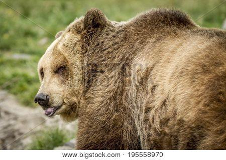 A captive Grizzly bear looks back toward the camera.
