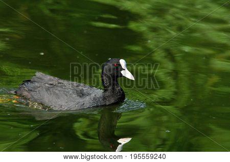 Eurasian coot, bird - a small waterfowl. Rail bird.