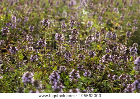 Bssoming thyme in a field. One of several species of culinary and medicinal herbs of the genus Thymus, most commonly Thymus vulgaris
