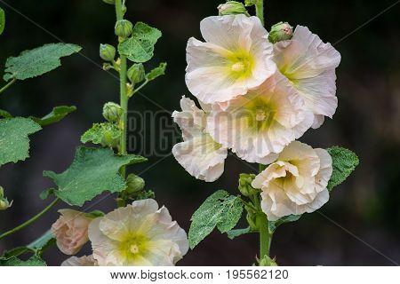 Cream colored Hollyhock or Alcea rosea in the garden