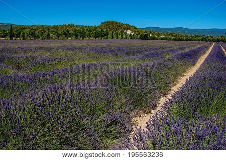 Panoramic view of field of lavender flowers under sunny blue sky, near the village of Gordes. Located in the Vaucluse department, Provence region, southeastern France