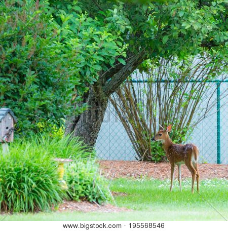 White tail deer (odocoileus virginianus) fawn during early summer in a Wisconsin backyard