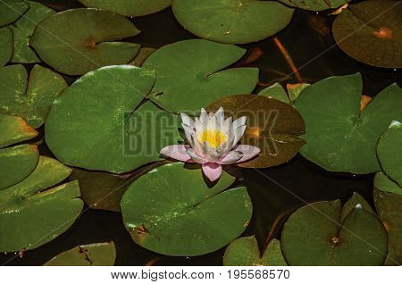 Close-up of aquatic plant flower on a pond at the Gardens of the Fountain, in the city center of Nimes. Located in the Gard department, Occitanie region in southern France
