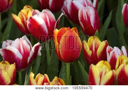 An orange tulip flowers and purple tulip flowers with a drop of dew in a tulip flower garden in a tulip flowers farm