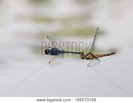 The Indothemis carnatica dragonflies in tandem over river