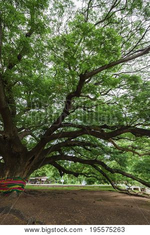 Branch Of Giant Monky Pod Tree In Kanchanaburi, Thailand