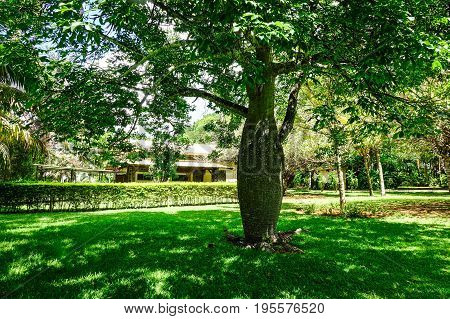 Baobab Tree At The Botanic Garden