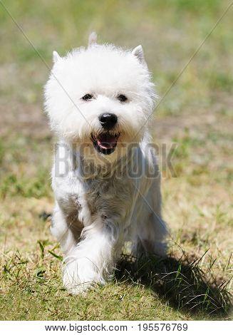 West highland white terrier dog walking on green grass