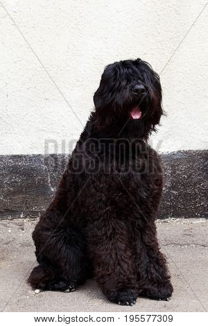 Dog breed Russian Black Terrier sitting outdoors