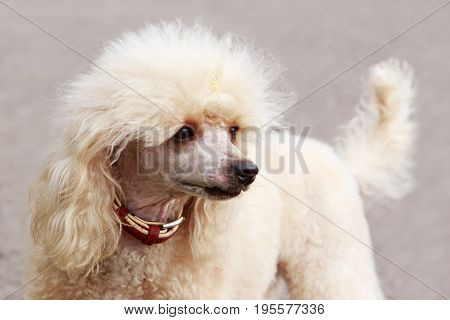 Dog of a poodle breed on a gray background