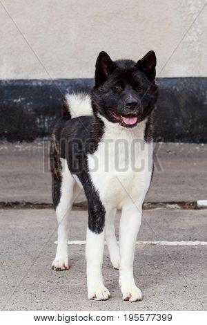 Dog breed American Akita on grey asphalt