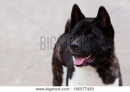 Dog breed American Akita on grey background