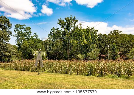 Scarecrow made out of gords in front of a field of sweet corn in June